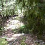 Beech forest Mt Aspiring Nat. Park